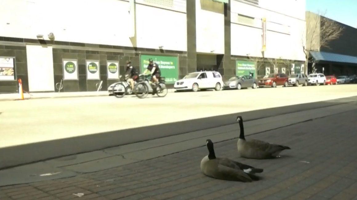 Canada geese claim downtown Edmonton corner