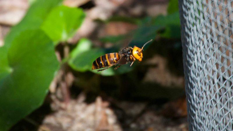 Are Japanese 'murder hornets' invading North America?